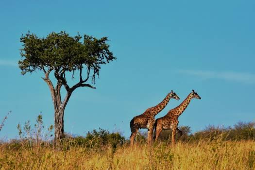 Africa grassland mammal natural #67699