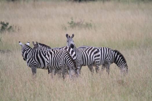 Africa kenya safari zebra Free Photo
