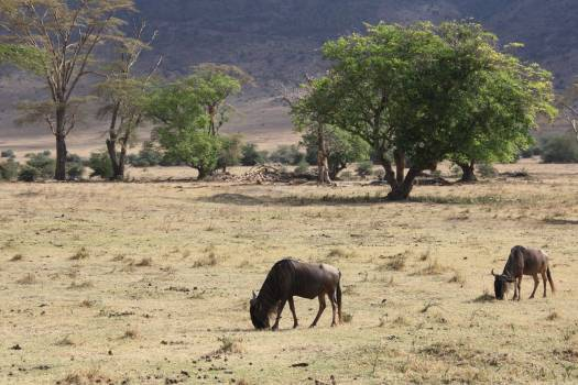 Africa antelope nature safari Free Photo