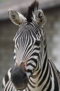 Africa striped zebra Free Photo