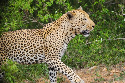 Leopard nature south africa wild #67731