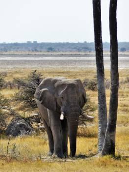 Africa african bush elephant animal animal world Free Photo
