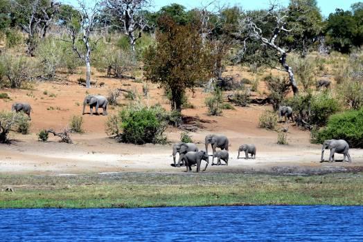 Africa botswana chobe elephants Free Photo
