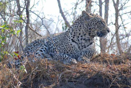 Africa animal cat feline #67767