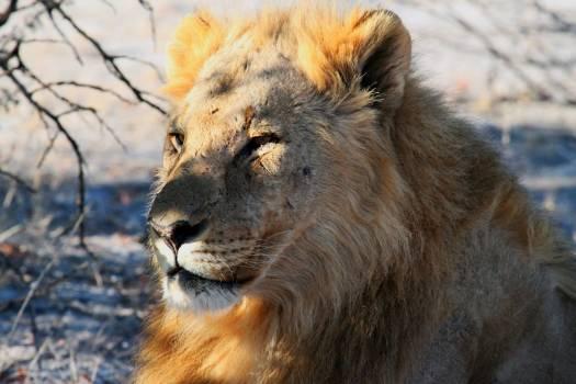 Africa etosha lion namibia Free Photo
