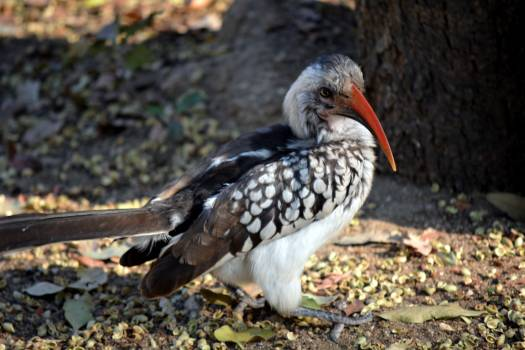 Kruger park nature red beak south africa Free Photo