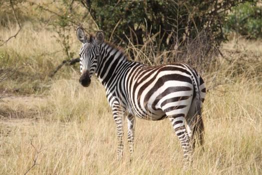 Africa animal safari serengeti Free Photo