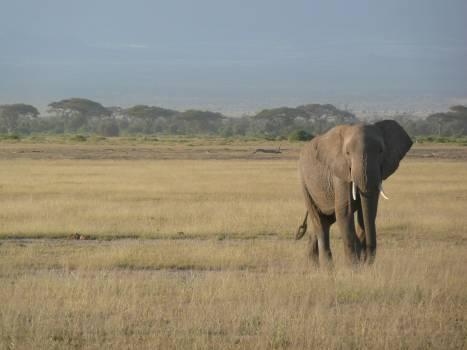 Africa animal elephant kenya Free Photo