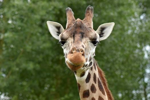 Africa animal cute giraffe Free Photo