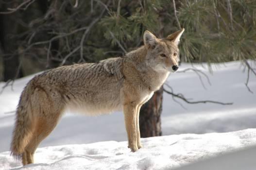 Carnivore coyote furry hunter #67924