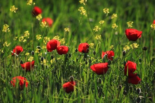 Flower grass nature papaver rhoeas #68074