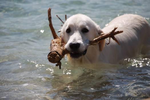 Animal dog golden happy #68387