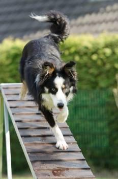 Agility catwalk dog training training #68569
