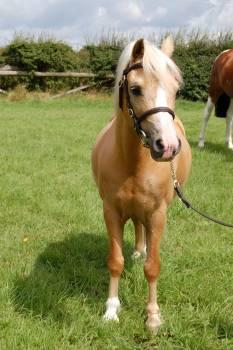 Animal palomino pasture pony #68944
