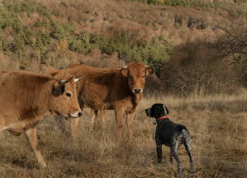 Cows hunting dog lozere meeting Free Photo