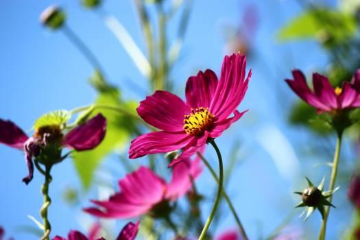Cosmea cosmos bipinnatus cosmos plant flower #70677