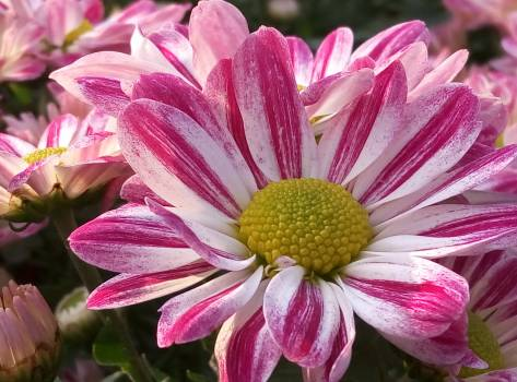 Chrysanthemum cosmos daisy #70689