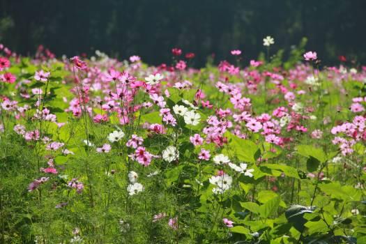 Cosmos flower garden flowers garden Free Photo