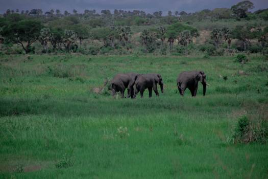 Elephants game park green grass green vegetation #71856