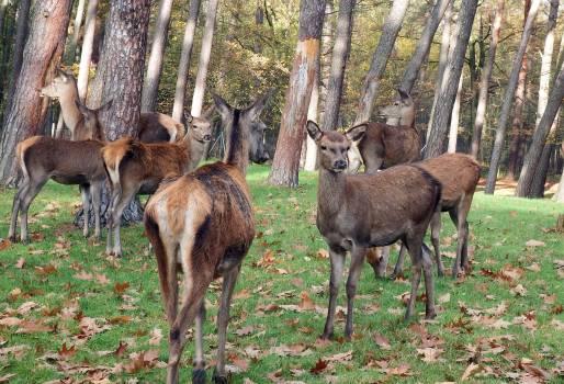 Autumn deer flock group #71975
