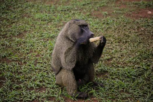 Animal park baboon eating grass #72046