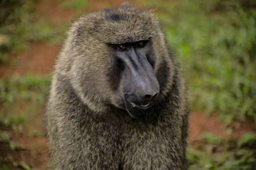 Animal animal photography animal portrait baboon #72058