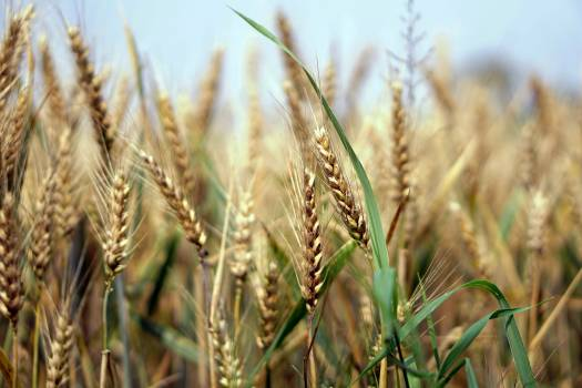 Agriculture airy arable cereals #73099