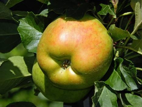 Apple apple tree autumn autumn fruits #73412
