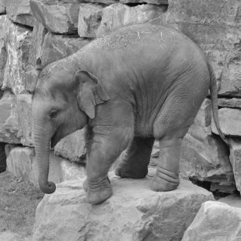 Animal baby elephant big five dumbo Free Photo
