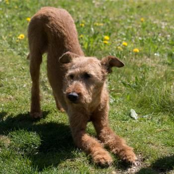 Dog irish terrier yoga #75816