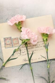 Antique carnation pink close cloves #76258