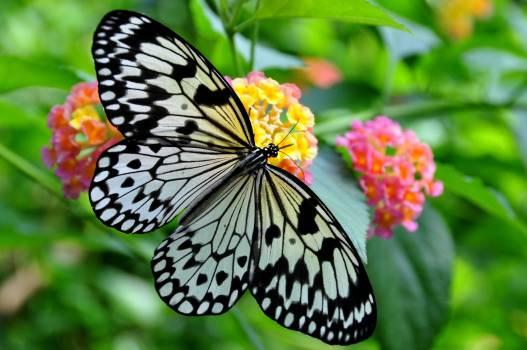 Black butterfly butterfly on a flower fauna #76268