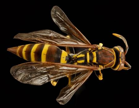 Close up european paper wasp insect macro #76275