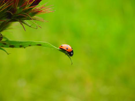 Beetle coccinella septempunctata coccinellidae crawl #76329