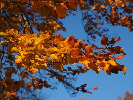 Autumn autumn colours autumn light beech #76376