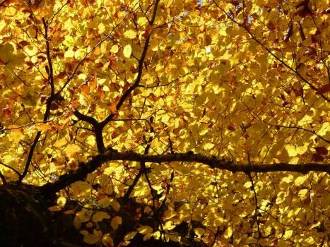 Autumn autumn forest back light beech #76378