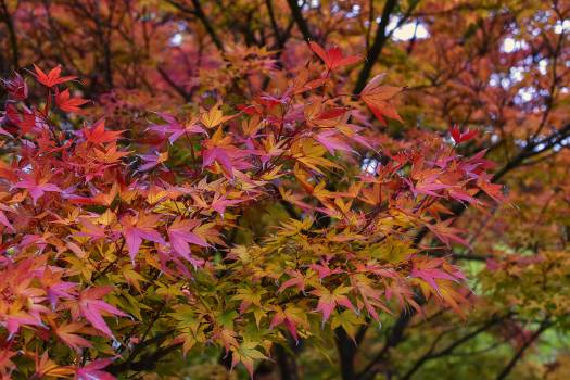 Acer palmatum asteraceae autumn colorful #76440