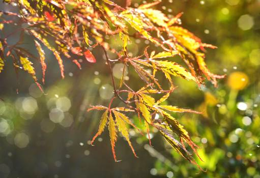 Autumn bokeh leaf maple #76457