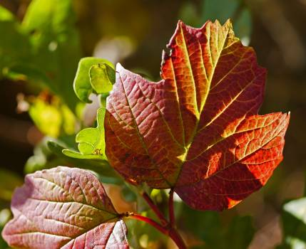 Autumn coloring fall foliage leaf veins #76459