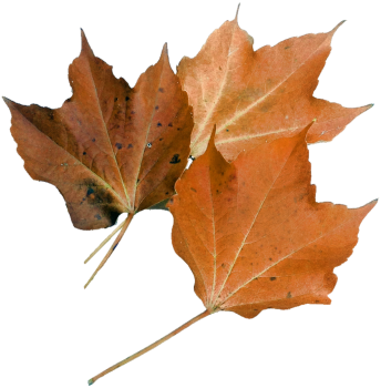 Autumn leaf maple leaf nature plant #76508