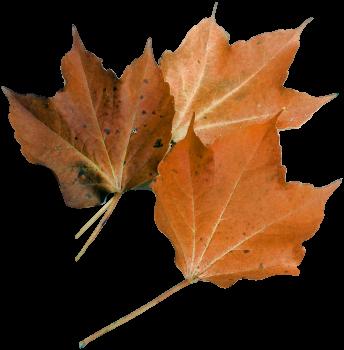 Autumn leaf maple leaf nature plant #76508