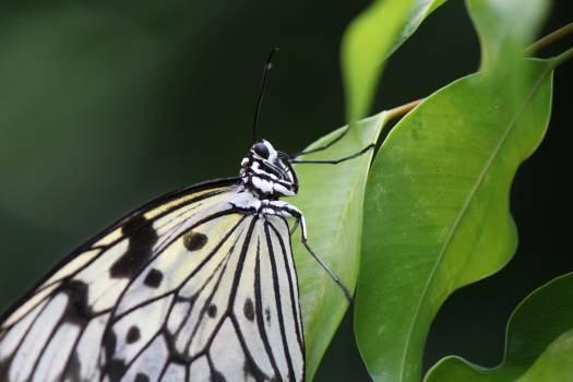Butterfly idea leuconoe nature tropical Free Photo