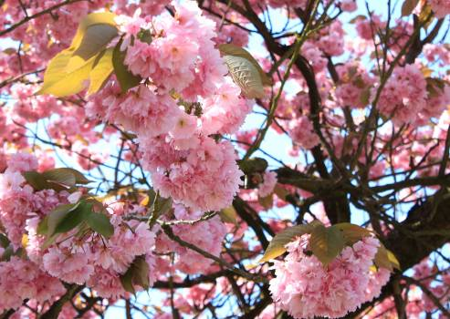 Background blossom greeting card japanese cherry Free Photo