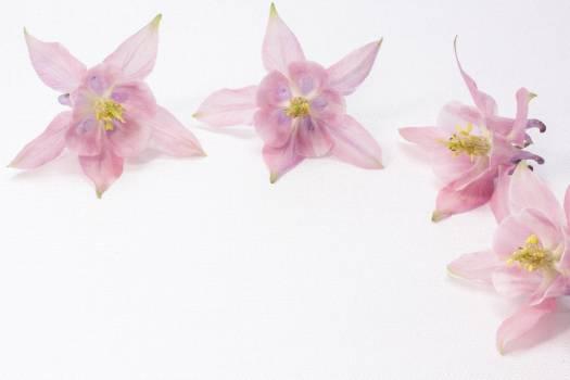 Aquilegia bloom blossom celebration #77640