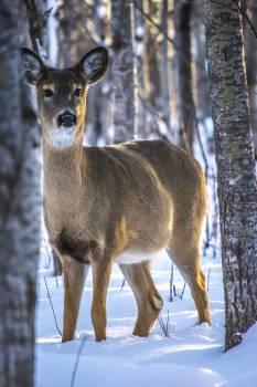 Deer forest pexels Free Photo