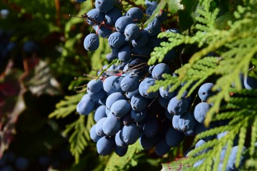 Barberry bed berries berry blue Free Photo
