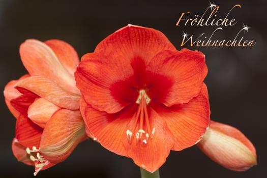 Amaryllis botany christmas christmas greeting Free Photo