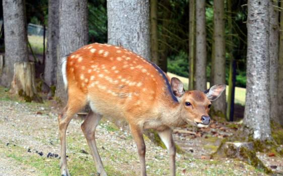 Animal world fallow deer female forest #78522