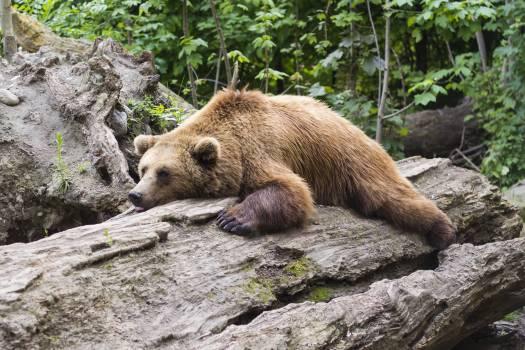 Animal bear brown dormant #79602