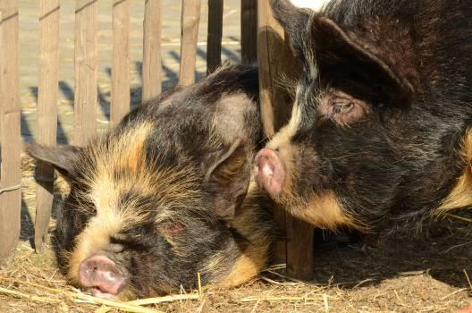 Animal farm hog mammal #79635
